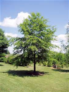 isu forestry extension tree identification shingle oak quercus imbricaria
