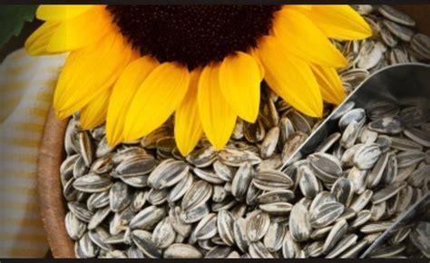 Biji Bunga Matahari Mini dengan bentuknya yang kecil ini ternyata kuaci bisa