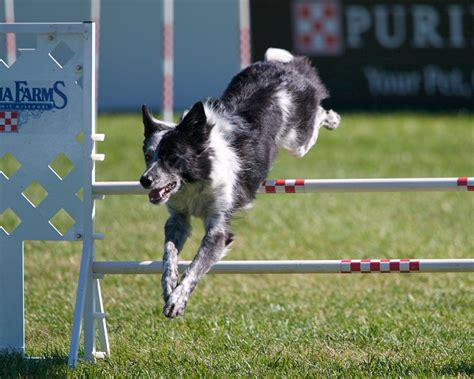 puppy agility agility images razzle the border collie at the pidc hd wallpaper and background