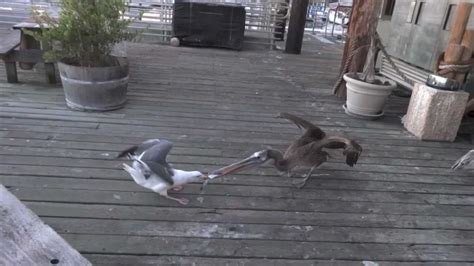 pelican  seagull fish battle youtube