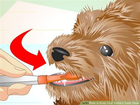 how to keep yorkies clean how to keep your yorkie s teeth clean with pictures wikihow