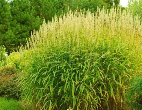 Types Of Decorative Grasses by Pin By Hatcher On I Garden