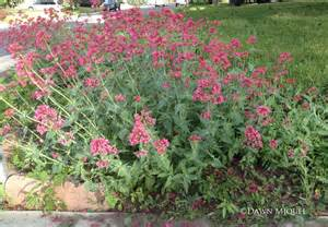 Cutting Flower Garden Design Jupiter S Beard How To Garden In Colorado How To Garden In Colorado