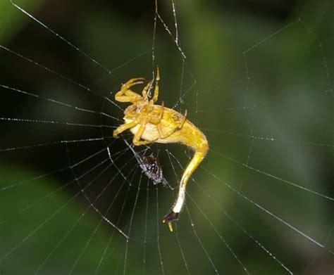 Up Side Scorpion Moge Brown arachnura higginsi by naught101 on deviantart