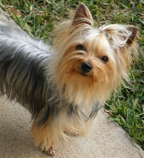 pictures of haircuts for silky terriers 25 best images about yorkies hair cuts on pinterest dog
