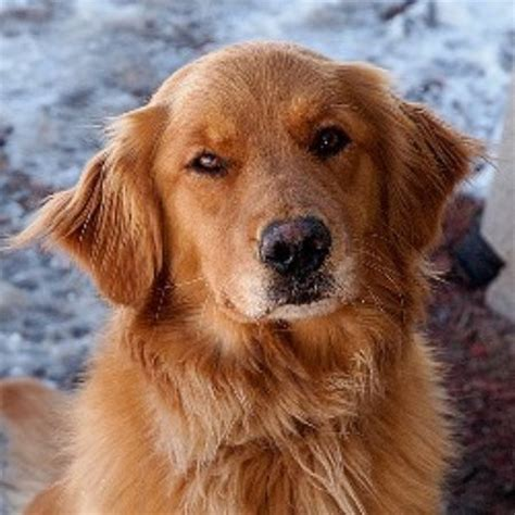 top golden retriever breeders in the midwest golden retriver rescue midwest breeds picture