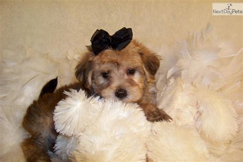 yorkie poo puppies for sale in missouri yorkiepoo yorkie poo puppy for sale near st louis missouri 6d94164e 5771