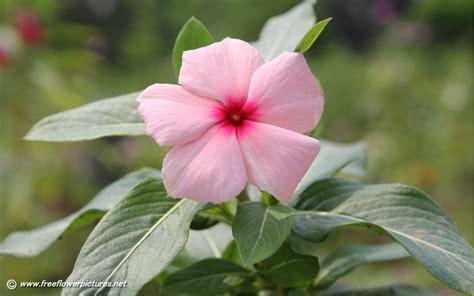 flower image vinca pictures vinca flower pictures