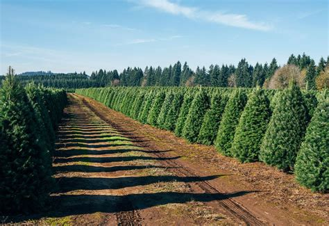 how to plant christmas tree farm your tree has lived through one hell of an adventure