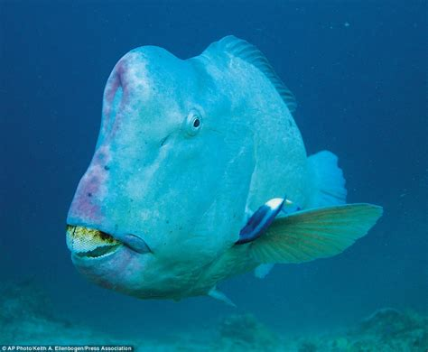 meet the world s ugliest endangered animals daily mail meet the world s ugliest endangered animals daily mail