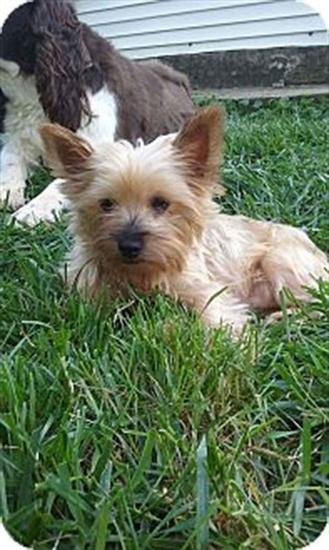 yorkie rescue in ohio northeast oh yorkie terrier meet a for adoption