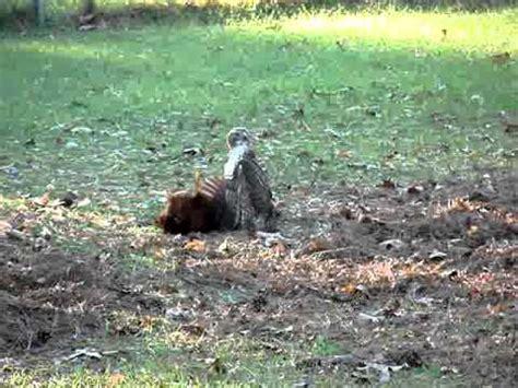 hawk killing  chicken youtube