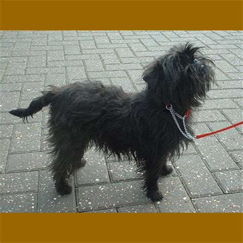 affenpinscher yorkie mix airedale lab mix breeds picture