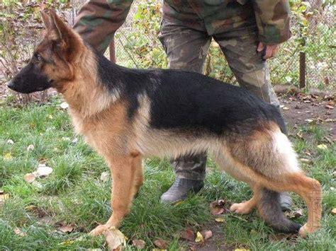 8 month puppy podbroshennyi puppy german shepherd 8 months buy on www bizator