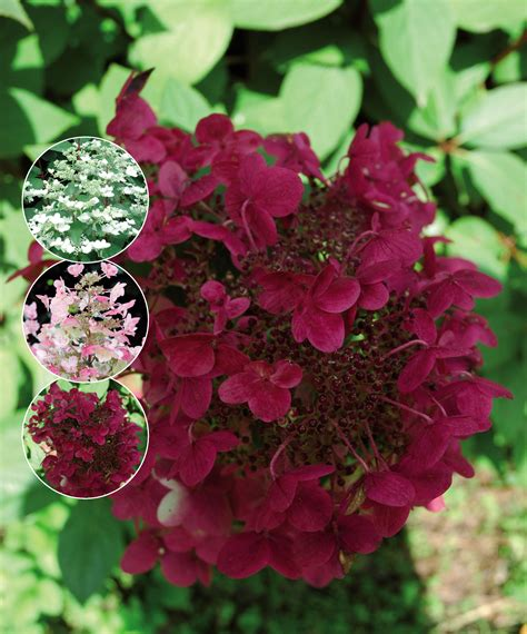 Hydrangea Paniculata Wims 5299 by Hortensja Bukietowa Wim S Hydrangea Paniculata