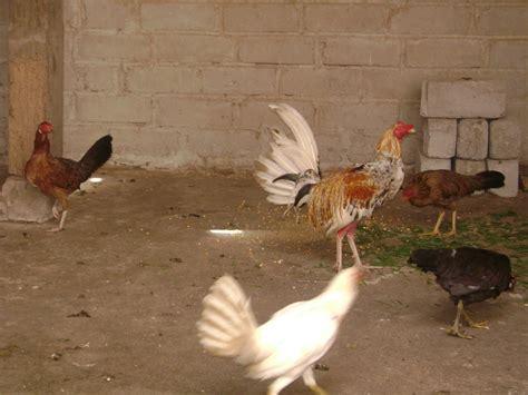 gallos d pelea peleas de gallos finos