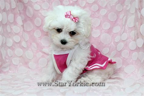 teacup pomeranian for sale vancouver tiny teacup puppies yorkies maltese maltipoo pomeranian shih tzu more