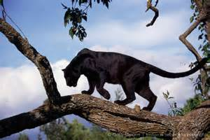 black panthers thinglink