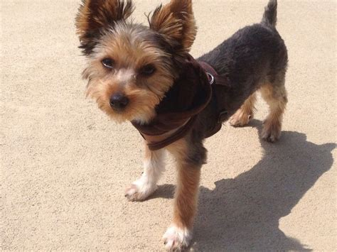 first yorkie hair cuts 17 best images about yorkie haircuts on pinterest kinds