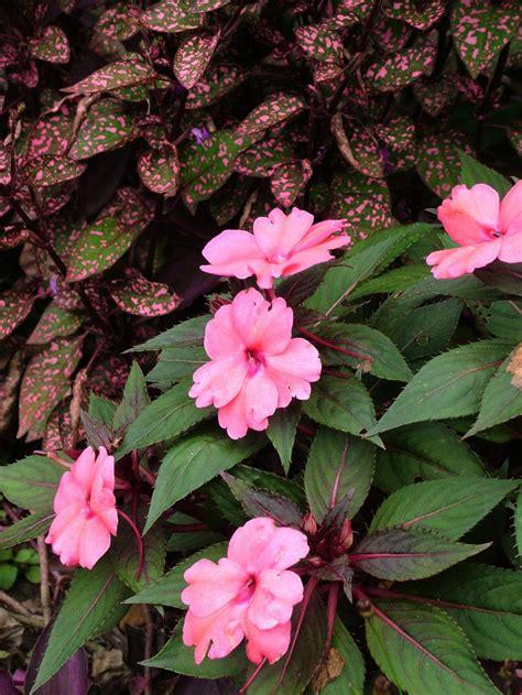 annual flowers for shade gardens hgtv