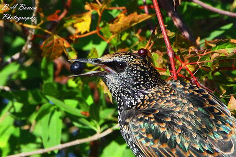 european starling eating flickr photo sharing