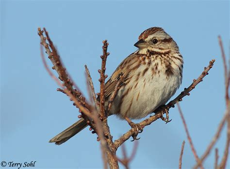 song sparrow photo photograph picture