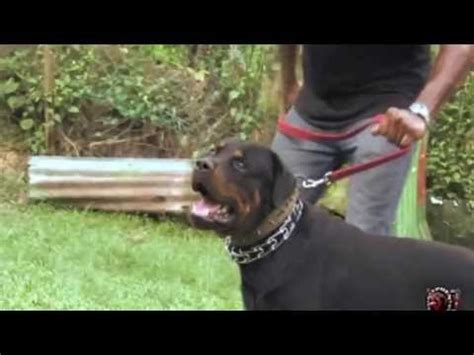 rottweiler for protection rottweiler personal protection trained guard for doovi