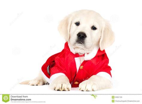 golden retriever costume for person golden retriever puppy in a santa costume stock photos image 35351723