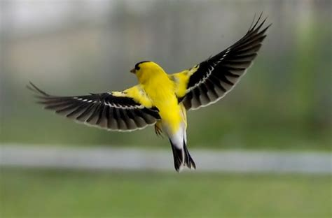 washington state bird facts american goldfinch facts habitat diet cycle pictures
