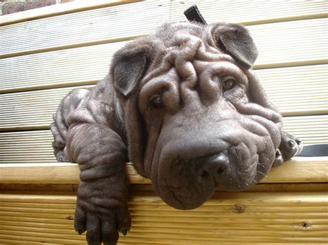 hippo puppy shar pei looks more like a hippo picture ebaum s world