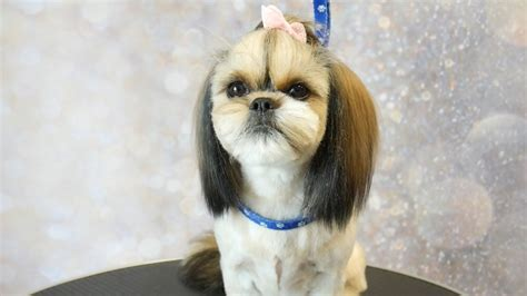 top knot shih tzu grooming guide how to groom a shih tzu with top knot summer cut 5