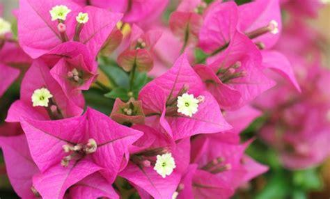 bouganville fiore bouganville come coltivare la pianta ricante dell