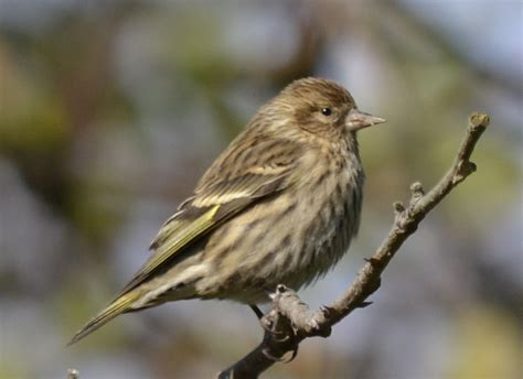 pine siskins at saddington in mississauga natural crooks