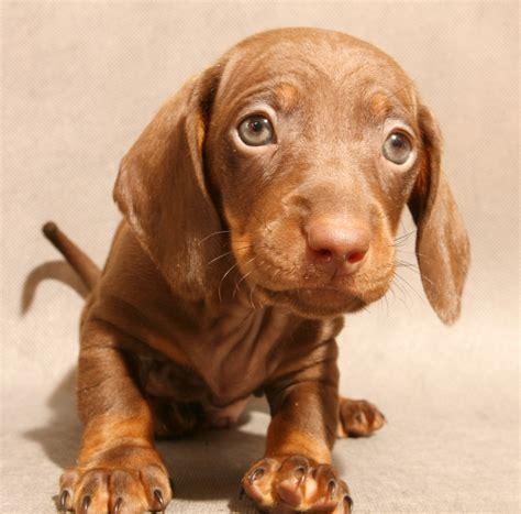 dachshund puppies ta dachshund varieties of dachshunds