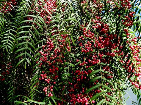 Plant Food That Comes With Flowers by Molle Del Peru Pink Peppercorns Schinus Molle Zoom S Edible Plants