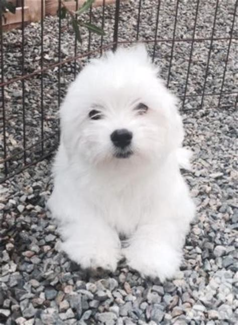 coton puppies available quality coton de tulear puppies available for sale in rancho california