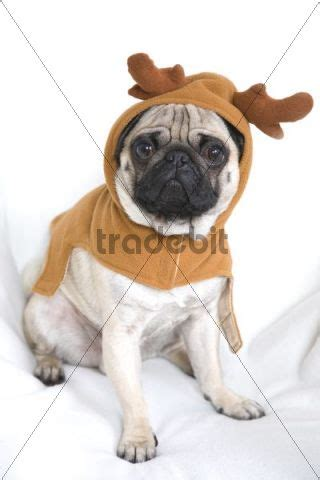 pug wearing pug costume pug wearing costume with elk antlers animals