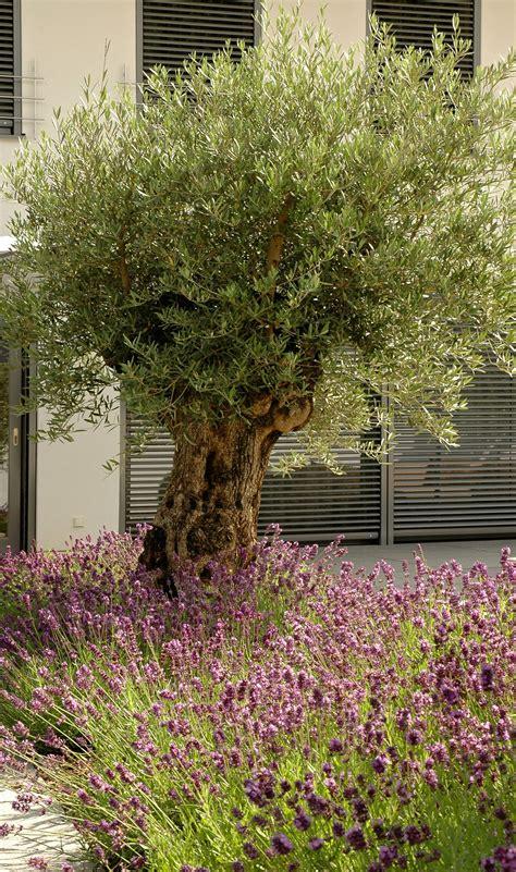 garten ideen schwier 300 jahre alter olivenbaum mit lavendelbeet garden