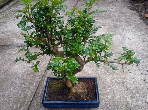 vasi bonsai fai da te bonsai pepe attrezzi e vasi per bonsai come realizzare