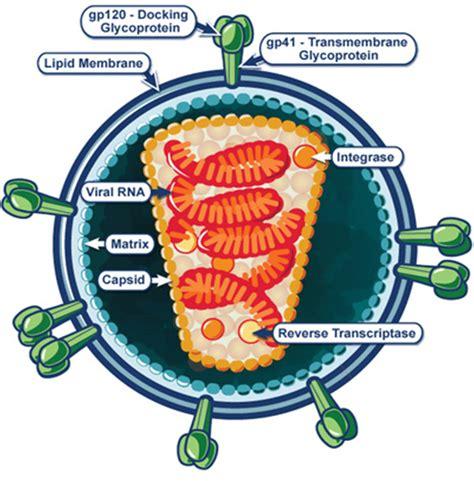 hiv virus diagram structure of human immunodeficiency virus hiv