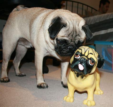 confused pug confused pug everything pugs