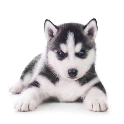 husky puppy names 17 best ideas about husky names on siberian husky names siberian husky