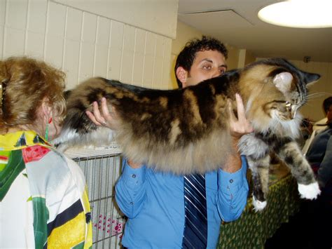 maine coon cats for adoption in ohio