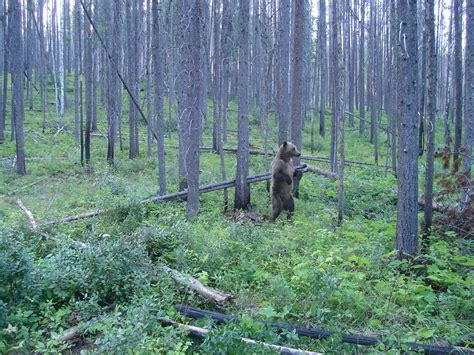 wildlife boat r near me northern continental divide grizzly population booming