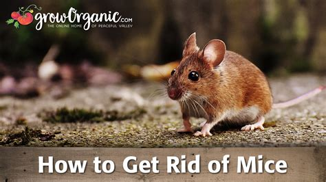 how to get rid of mice rats organic gardening
