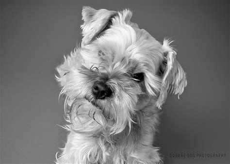 schnorkie puppies schnorkie puppies