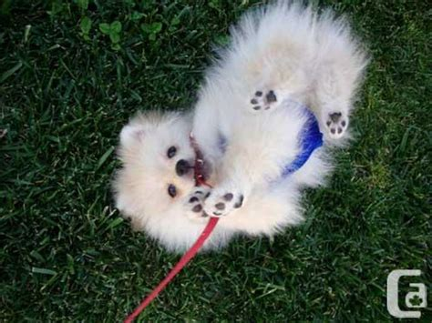 pomeranian breeders montreal we got two and adorable pomeranian puppies for adoption for sale in montreal