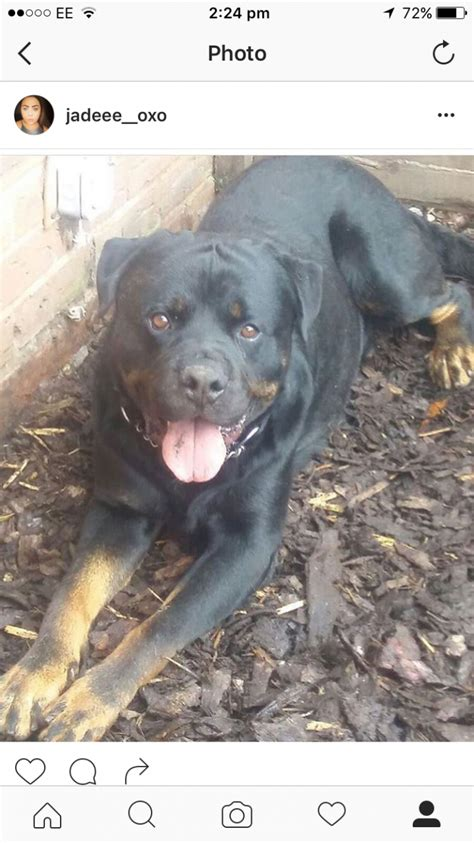 rottweiler needs beautiful rottweiler needs rehoming oldbury west midlands pets4homes