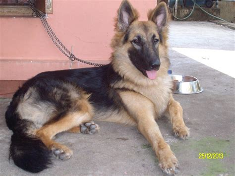 german shepherd puppies price german shepherd puppies for sale shibu zachariah nellikkalayil 1 15628 dogs for