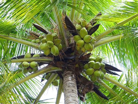 Uses Of The Coconut Palm by Free Photo Coconut Palm Dharwad India Free Image On